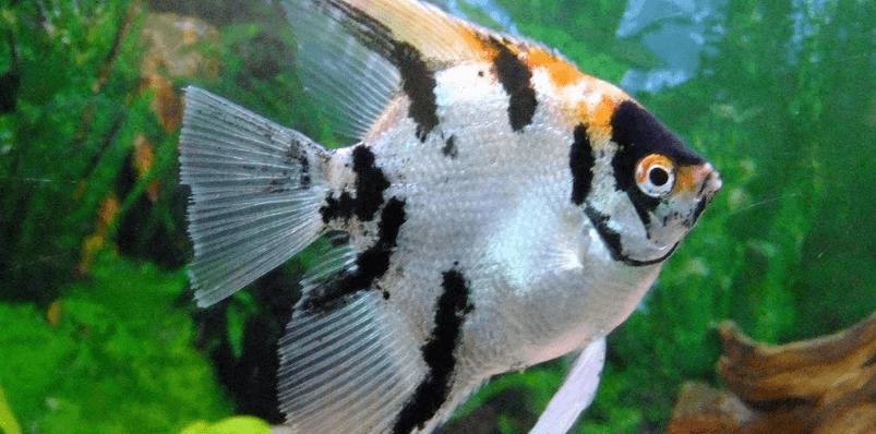 三色神仙鱼的饲养方法