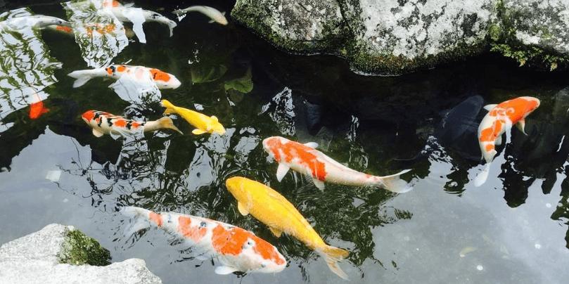 日本锦鲤的饲养方法有哪些