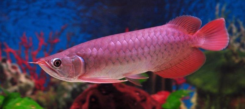 红龙鱼的饲养方法有哪些