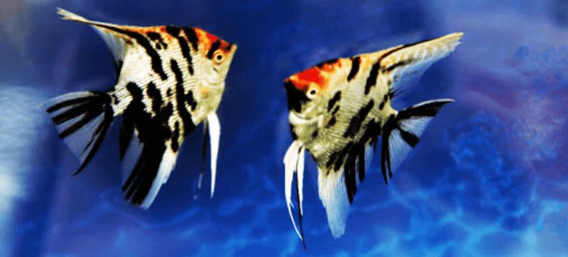 鸳鸯神仙鱼的饲养方法有哪些