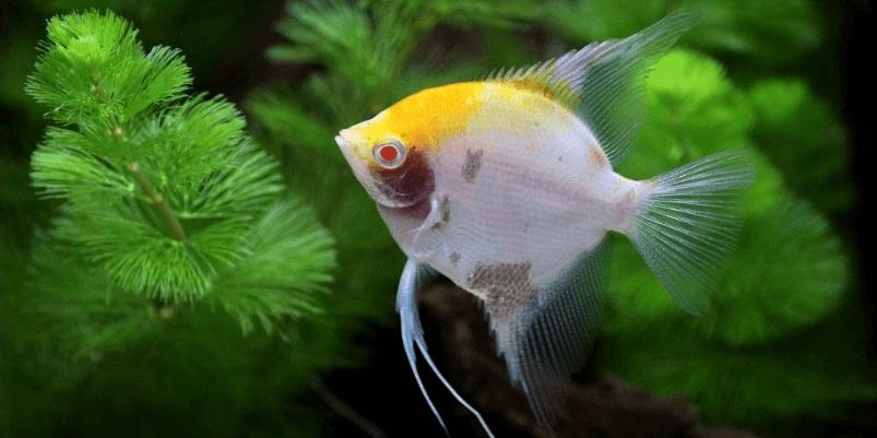 金头神仙鱼的饲养方法有哪些