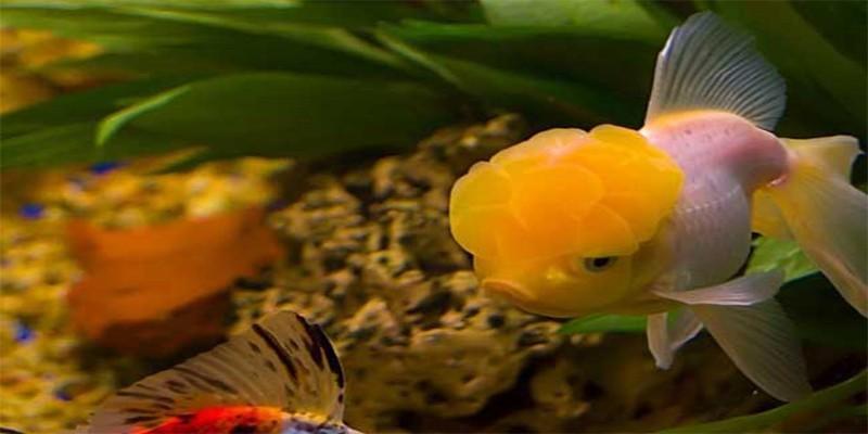 金鱼身上的白点应该怎么治呢