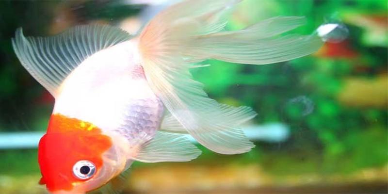 金鱼的繁衍办法有哪些呢