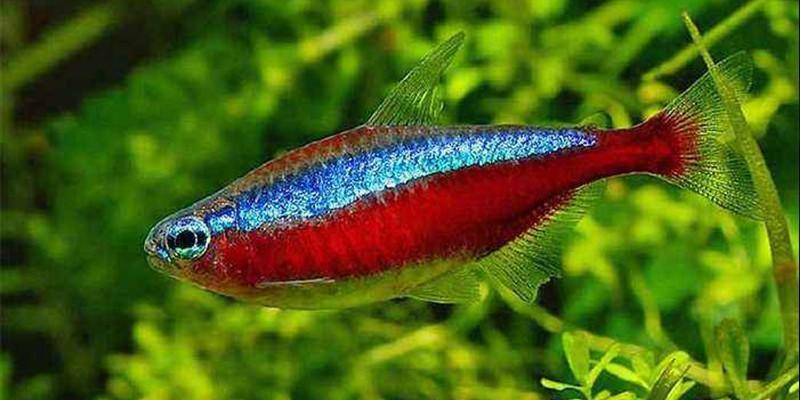 宝莲灯鱼能和什么鱼混养