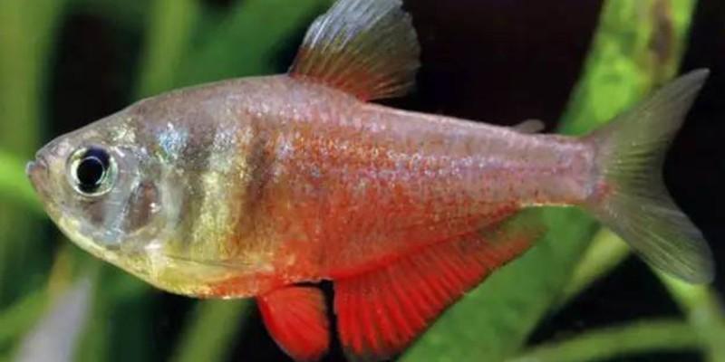火焰灯鱼的饲养方法有哪些