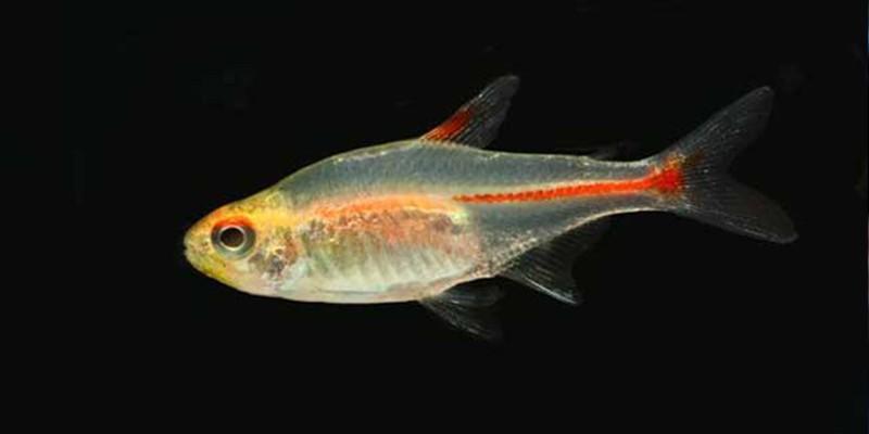 灯鱼能和什么鱼混养呢