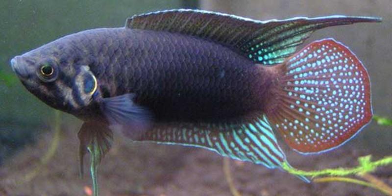 中国斗鱼怎么养出颜色