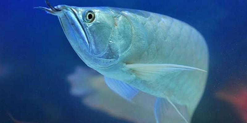 银龙鱼一般能长多大