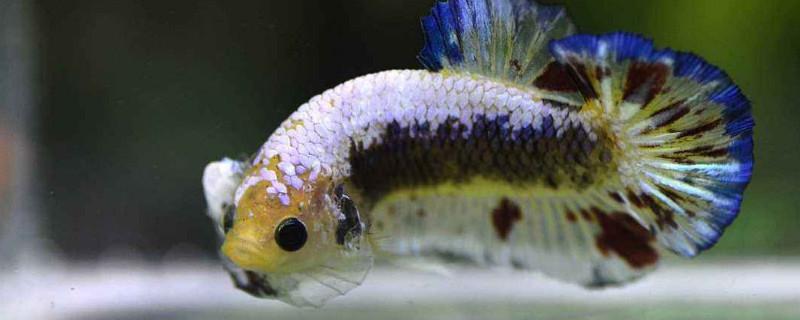 泰国斗鱼可以冷水养吗