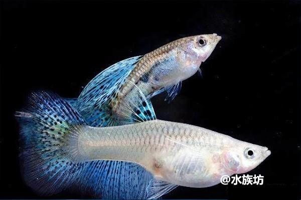如何能把孔雀鱼饲养到爆缸