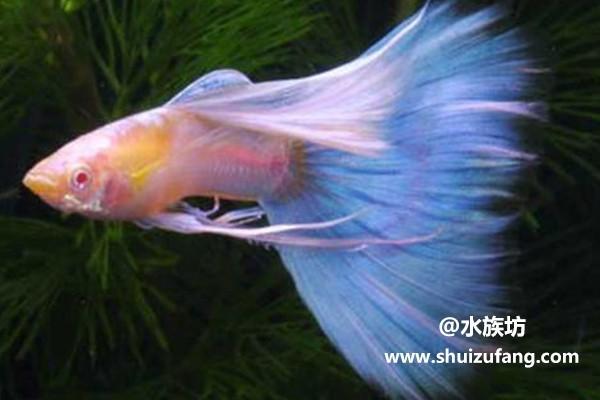 杂袍孔雀鱼好养吗