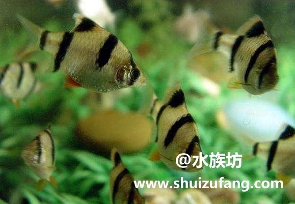虎皮鱼能和什么鱼混养