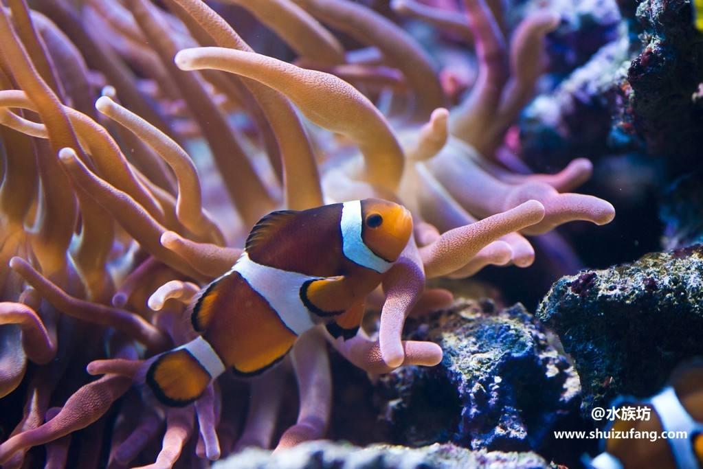 饲养小丑鱼要配什么生物