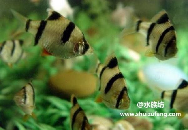 虎皮鱼寿命有多长