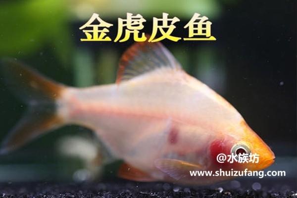 金虎皮鱼_四间鱼_虎皮观赏鱼