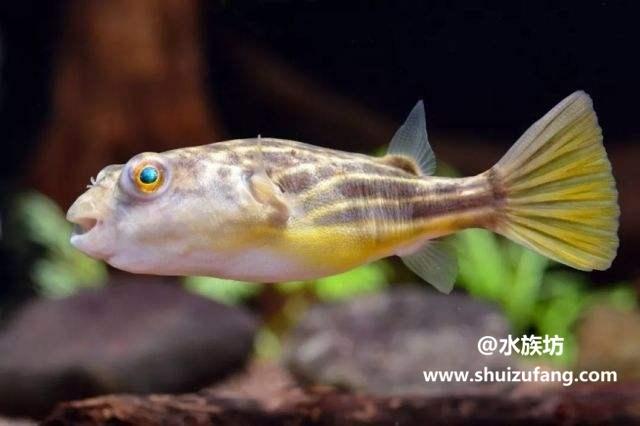 饲养斑马狗头鱼的方法有哪些