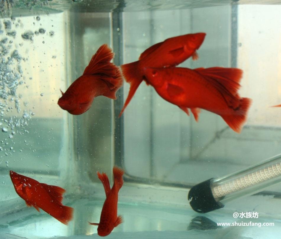 红箭鱼可以和什么鱼混养