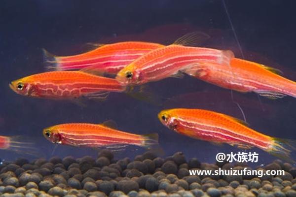 红斑马鱼怎么喂食