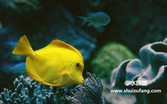 黄高鳍刺尾鱼的饲养方法有哪些