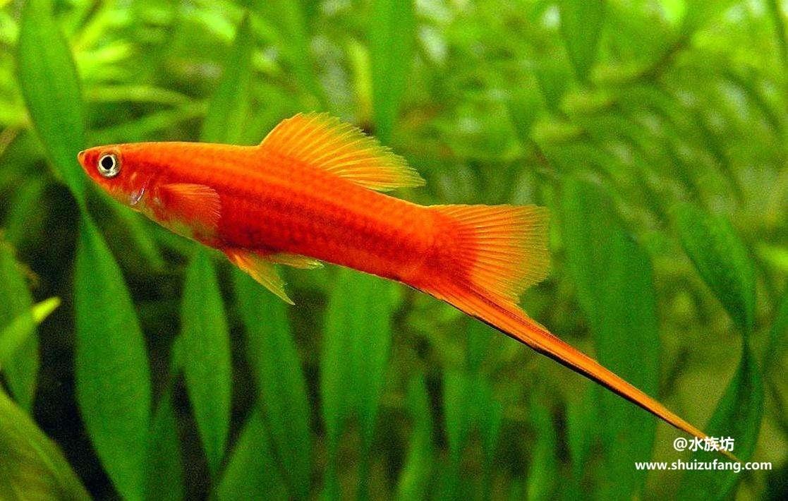 红箭鱼的饲养方法有哪些