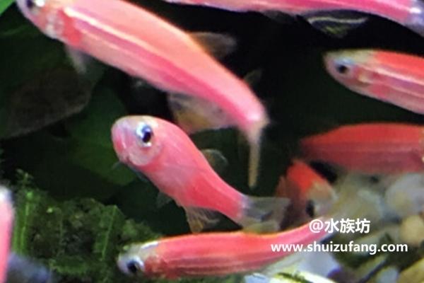 荧光斑马鱼如何繁殖