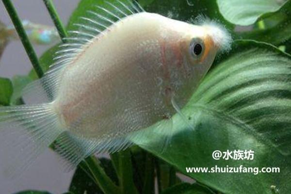 一般接吻鱼能长多大