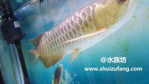 金龙鱼掉尾怎么治疗