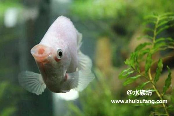 接吻鱼好养吗