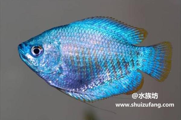 蓝丽丽鱼的特点是什么
