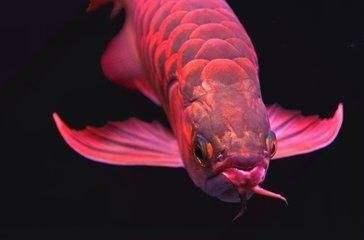 金龙鱼胡须长小疙瘩是什么原因