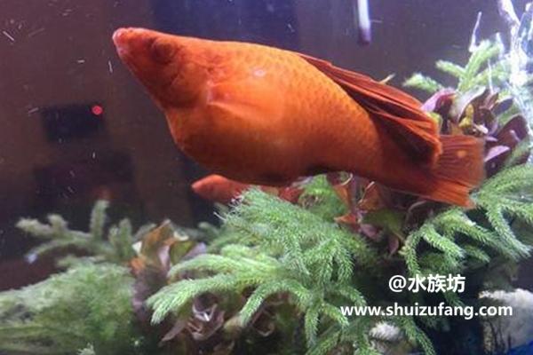红箭鱼吃什么比较好