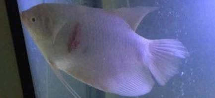 招财鱼竖鳞病怎么治疗