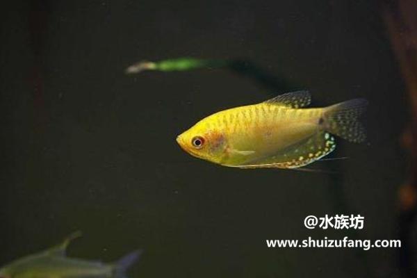 曼龙鱼变色正常吗