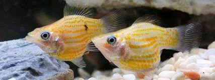 玛丽鱼怎么分辨雌雄