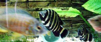 十间鱼能和什么鱼混养