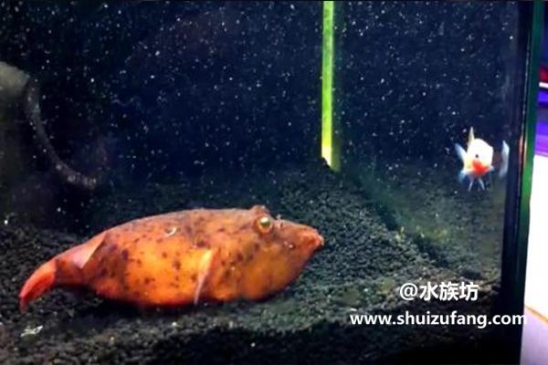 红木瓜狗头鱼吃什么