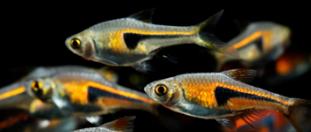 三角灯鱼的繁殖过程