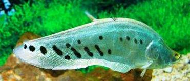 七星刀鱼的价格一般是多少钱