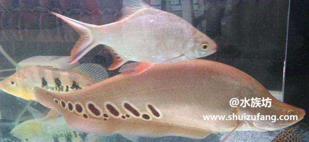 七星刀鱼能和什么鱼混养