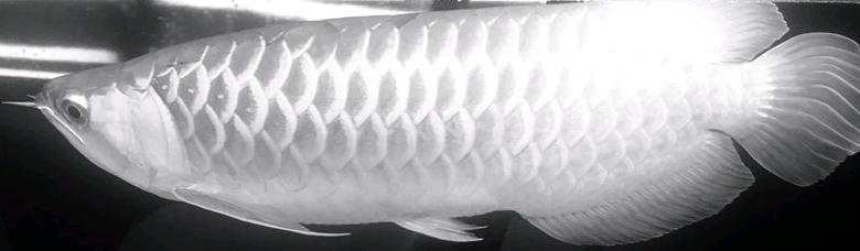 黑龙鱼鳃部翻了怎么回事
