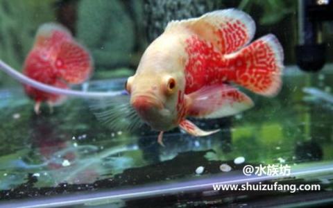 地图鱼繁殖有什么表现