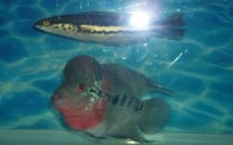 大铅笔鱼能和啥鱼混养