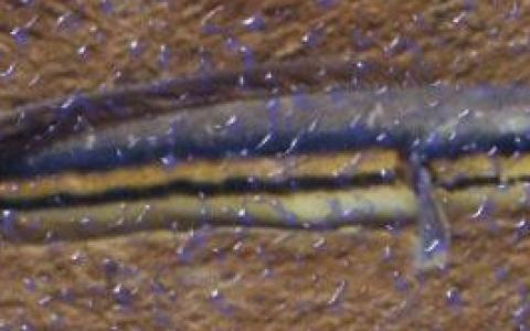 铅笔鱼三种病症原因及治疗方法